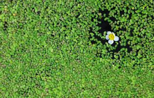 "Duckweed and buttercup, France. Photograph from the book ""Une Autre Terre"" - illustrated glossary of a nature to be protected - published by IRD, 2015."